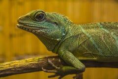 Closeup of Water dragon lizard Royalty Free Stock Image