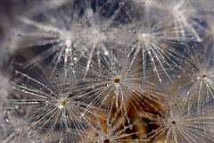 Closeup of water droplets on dandelion seeds. Water droplets on dandelion seeds, reminiscent of snowflakes on a cold winter day Royalty Free Stock Image