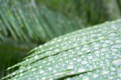Closeup water droplets on green cycad leaf in spring time Stock Photography
