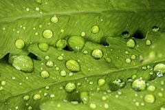 Closeup of water droplets on a leaf of sensitive fern. Royalty Free Stock Photo
