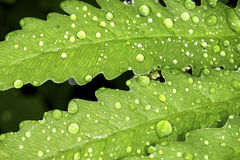 Closeup of water droplets on a leaf of sensitive fern. Stock Photo