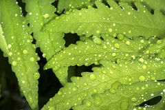 Closeup of water droplets on a leaf of sensitive fern. Stock Photos