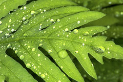 Closeup of water droplets on a leaf of sensitive fern. Royalty Free Stock Images