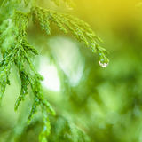 Closeup Of Water Drops on Coniferous Branches in The Park Outdoors Stock Photos