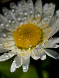 Closeup of a water drops on a daisy Royalty Free Stock Photography