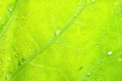 Closeup water drops on leaves green Royalty Free Stock Image