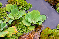 Closeup of water  hyacinth flaoting on water Royalty Free Stock Photos
