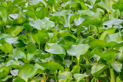 Closeup of water hyacinth floating on water. Royalty Free Stock Image