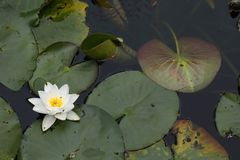 Water lilies in a pond royalty free stock photos