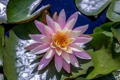 Closeup of water lilly flower surrounded by leaves and water. Closeup of pink lotus flower with yellow center on top of green lilly leaves Stock Photos