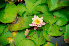 Closeup of water lily in pond. garden white pink flowers Stock Photos