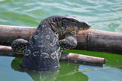 Closeup of water monitor lizard Stock Photos