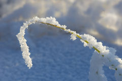 Closeup of a water plant covered in snow Stock Photos