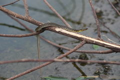 CloseUp of a Water Snake Stock Images