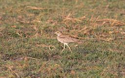 Closeup of Water thick-knee, Chobe River Royalty Free Stock Photo