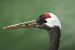 Closeup of waterbird. Beautiful close up of a water bird Royalty Free Stock Photography