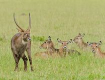 Waterbuck group, a male and his harem. Closeup of Waterbuck group Kobus ellipsiprymnus  in the Serengeti National park, Tanzania Stock Image