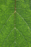 Closeup Of Waterdrops On A Grape Leaf Stock Images
