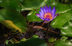Closeup of a Waterlily Royalty Free Stock Photo