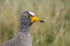 Closeup of wattled plover or Lapwing Royalty Free Stock Image