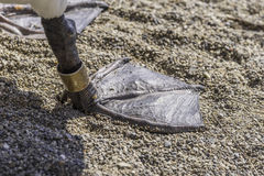 Closeup of webbed duck foot with ankle bracelet tracking tag, en Royalty Free Stock Photo