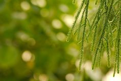 Closeup of weeping European Larch. (Larix decidua) against sunny green background Royalty Free Stock Images