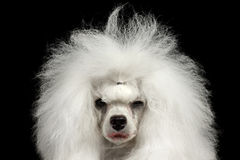 Closeup Weeping Poodle Dog Squinting Looking in Camera, Isolated Black Royalty Free Stock Image