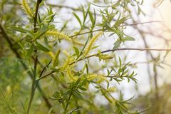 A closeup of weeping willow. A closeup photo of branches and leaves of weeping willow stock images