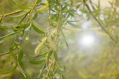A closeup of weeping willow stock photo