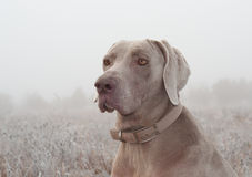Closeup of a Weimaraner dog Royalty Free Stock Images