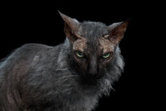 Closeup Werewolf Sphynx Cat Angry Looking in Camera  Black Stock Photos