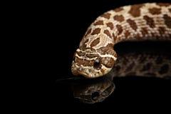 Closeup Western Hognose Snake, isolated on black background Royalty Free Stock Photography