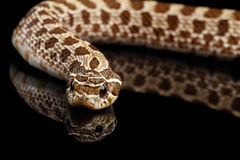 Closeup Western Hognose Snake, isolated on black background Stock Photo