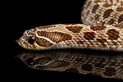 Closeup Western Hognose Snake, isolated on black background Royalty Free Stock Image
