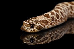 Closeup Western Hognose Snake, isolated on black background Stock Photos