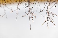 Closeup of wet birch tree branches Stock Image