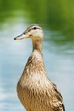 Closeup of a wet black duck Stock Image