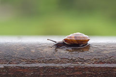Closeup of wet brown snail Royalty Free Stock Photography