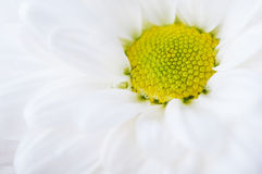 Closeup of wet chamomile Stock Photos