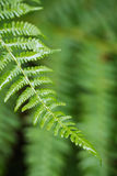 Closeup wet green fern leaf in forest. Closeup wet green fern leaf on blurred vackground. Shallow focus Royalty Free Stock Image