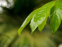Closeup of wet green leaf Royalty Free Stock Image