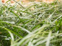 Closeup of wet lawn after summer rain. With water drops on green grass Stock Image