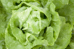 Closeup of wet lettuce in garden Stock Photo