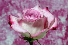 A closeup of a wet Pink Rose. On a pink background Stock Photo
