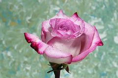 A closeup of a wet Pink Rose. On a green background Stock Photo