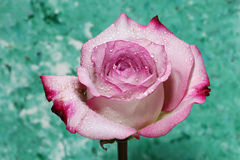 A closeup of a wet Pink Rose. A wet pink Rose on a green background Royalty Free Stock Photography