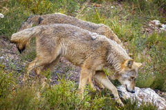 Closeup of wet wolfs Canis Lupus Signatus Royalty Free Stock Photos