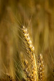 Closeup Wheat. Closeup view of wheat with a blurred wheat field in the background stock photo