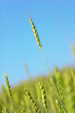 Closeup Of Wheat barley royalty free stock photos