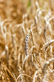 Closeup of  wheat ea Stock Photo